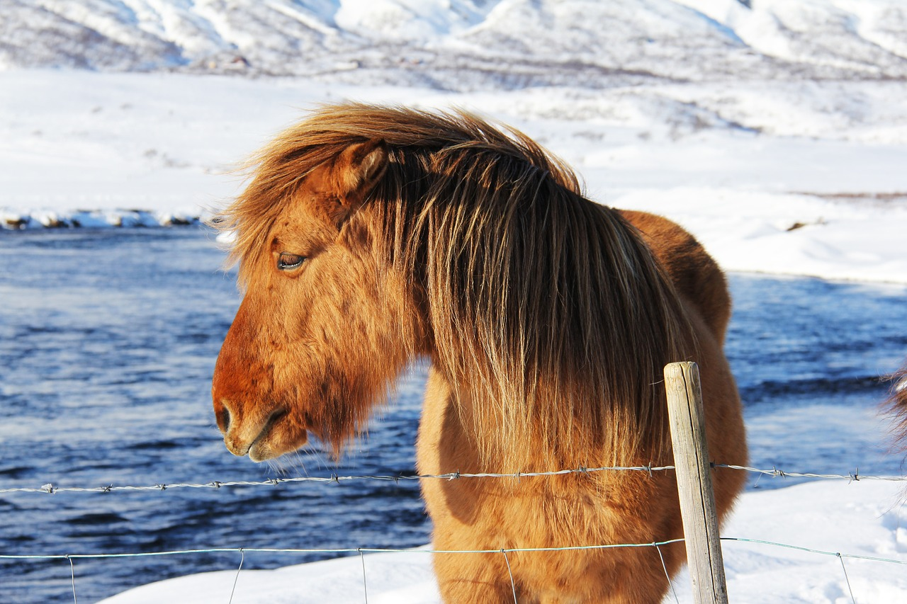 Unique Icelandic Odd Horses Beautiful Cute